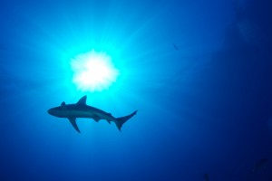 Shark at Kronos Reef by USFWS